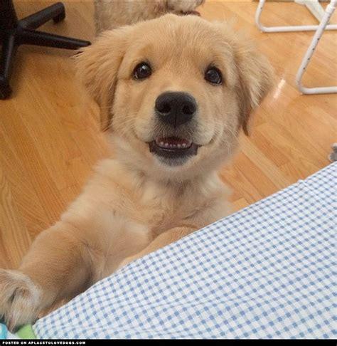 smiley golden retriever adorable smiley golden retriever puppy