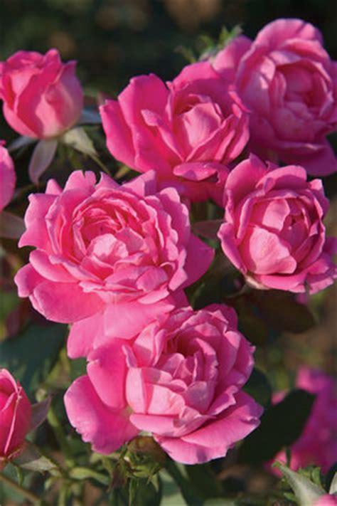 brown thumb gardeners guide  easy roses sand  sisal