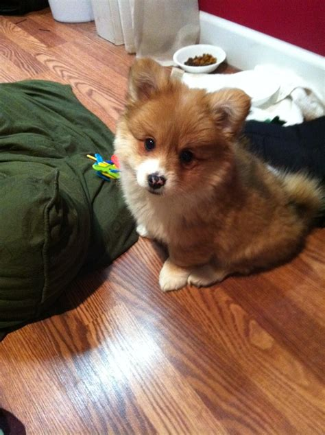 corgi pomeranian puppies pomeranian mixed with corgi precious