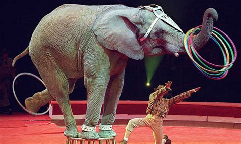Circus Elephant Rage Breaking News Moscow Circus Suspends Horrible Animal Acts