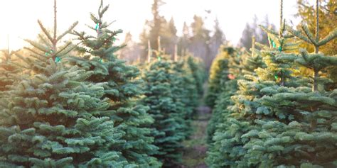 christmas tree farms fun christmas tree farms