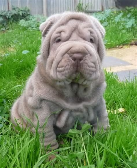 Shar Pei Shedding by 50 Most Beautiful Shar Pei Photos And Pictures