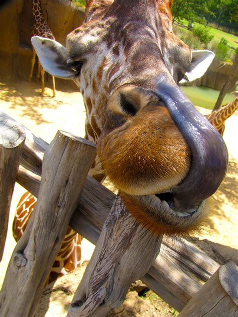 what color is a giraffe s tongue dont need no napkins keep calm giraffes