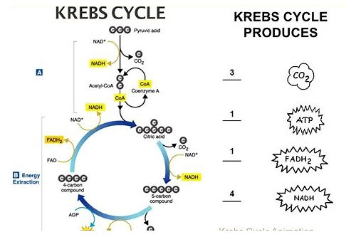 krebs cycle video free download