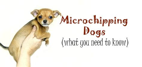 how are puppies microchipping dogs a beginner s guide pbs pet travel