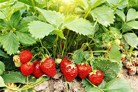 grow organic strawberries   backyard