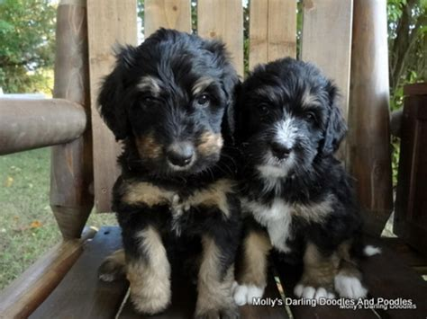 hoobly michigan dogs bernedoodle puppies in michgan in hoobly classifieds