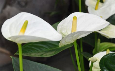 Home Decor Trends Of 2014 anthurium care guide proflowers blog