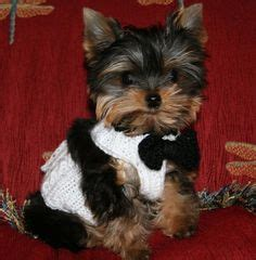 teacup yorkies michigan 1000 images about priceless yorkie puppy on yorkies yorkie puppies for