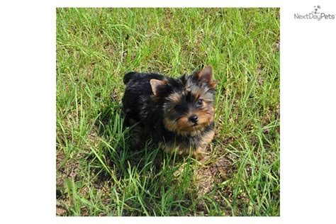 morkie puppies for sale oklahoma yorkie puppy in oklahoma terrier puppy yorkie puppies yorkie breeds