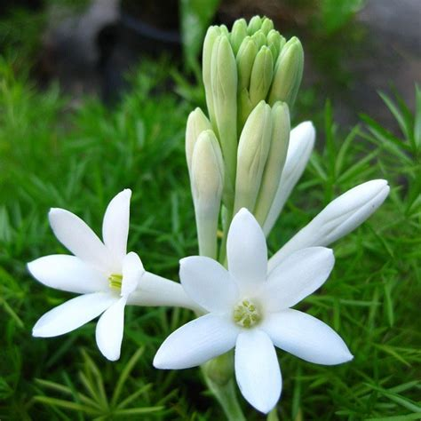 perfumery aroma accords tuberose accord majid
