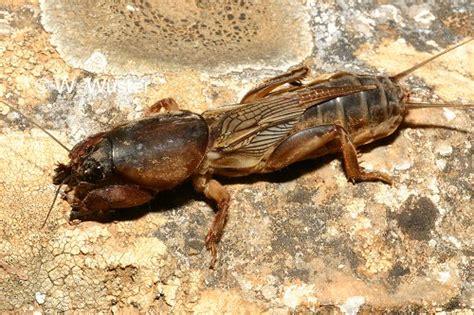 Orong Orong calphotos gryllotalpa gryllotalpa mole cricket