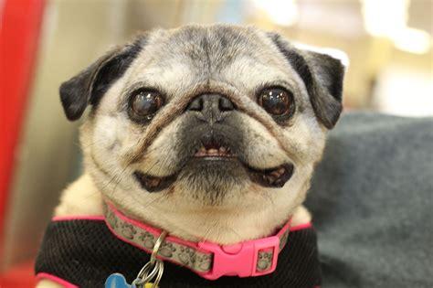 high pug pug rescue of