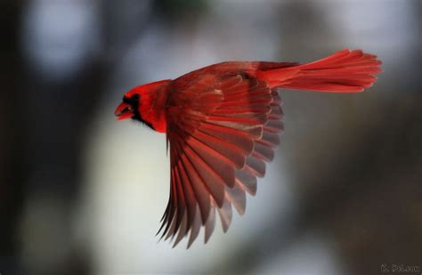 the cardinal bird usa beauty of bird