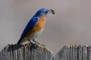 Great American Backyard Bird Count Eastern Bluebird Audubon Field Guide
