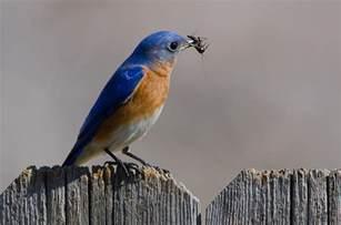 Backyard Birds Of Texas Eastern Bluebird Audubon Field Guide