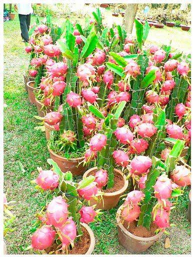 Bibit Buah Naga buah alpukat related keywords buah alpukat