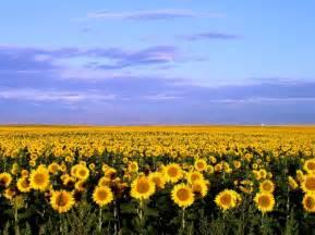 sunflower fields a redleg s rides sunflower sunrise