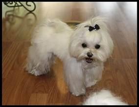 different maltese haircuts pictures 25 cutest maltese haircuts for your little puppy