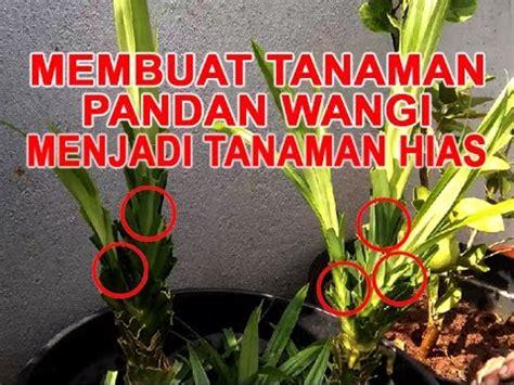 teks prosedur membuat tanaman hias membuat tanaman pandan wangi menjadi tanaman hias youtube