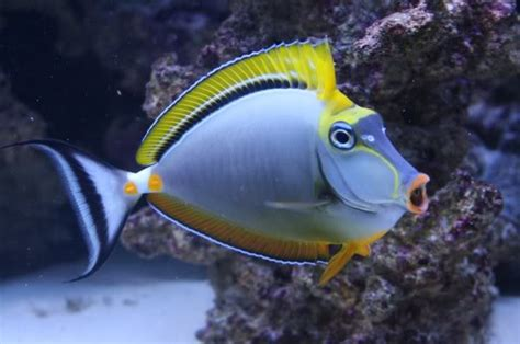 Orange Home Decorations by Buy Blonde Naso Tang Online At Aquarium Warehouse