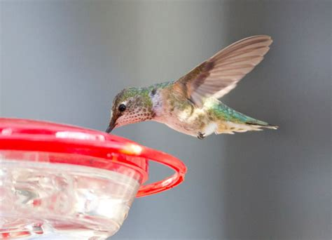 illinois hummingbird creates a stir project feederwatch blog