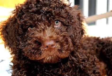 golden retriever en español perro de agua espa 209 ol caracteristicas y fotos petdarling