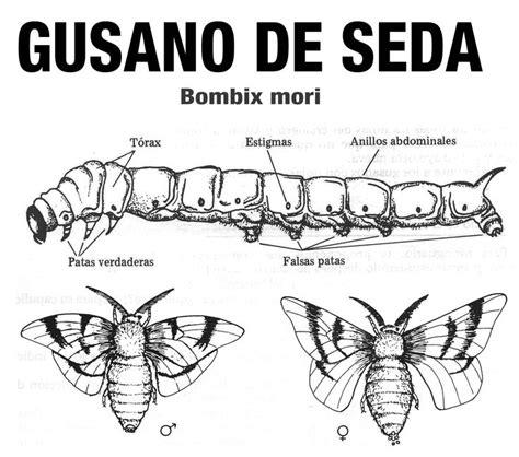 cuc tras de animales del 8467561947 17 mejores im 225 genes sobre p gusanos de seda en mariposa monarca seda y se 241 oras