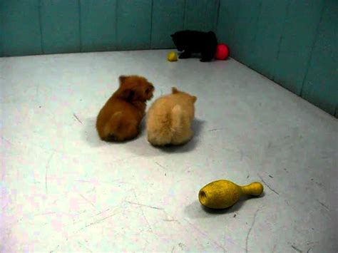 puppies for sale in salinas ca pomeranian puppies for sale in san diego california ca escondido hayward