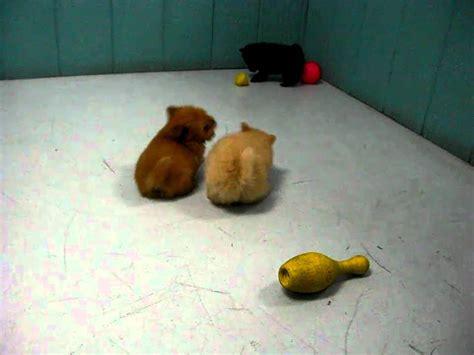 pomeranian for sale fresno ca pomeranian puppies for sale in san diego california ca escondido hayward