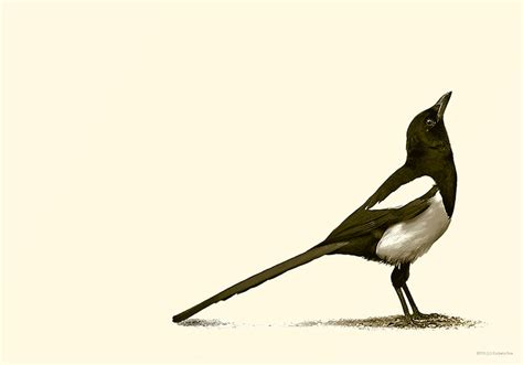 magpie by culpeo fox on deviantart