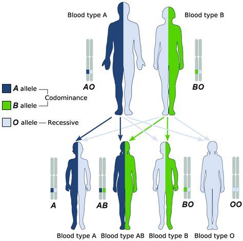 exle of heterozygous biobook leaf what is the difference between homozygous