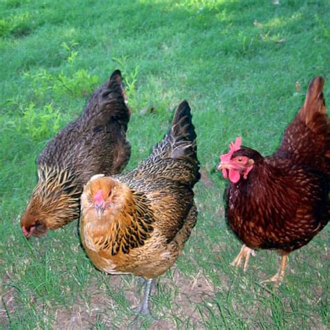 can you chickens in your backyard backyard chickens 7 essential steps a piece of rainbow