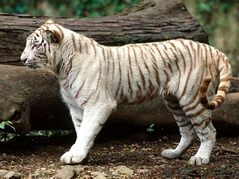 Japan: White Tiger HD Wallpapers for Desktop Free