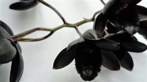 wallpaper anggrek hitam flora dan fauna khas kalimantan timur the colour of