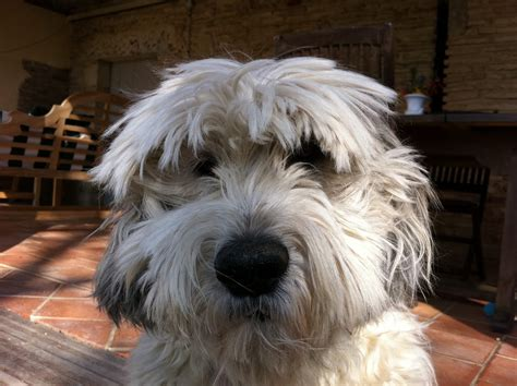 lowland sheepdog puppies 1000 images about dogs are soooo awesome on wheaten