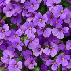 plant with purple flowers purple rock cress aubrieta deltoidea