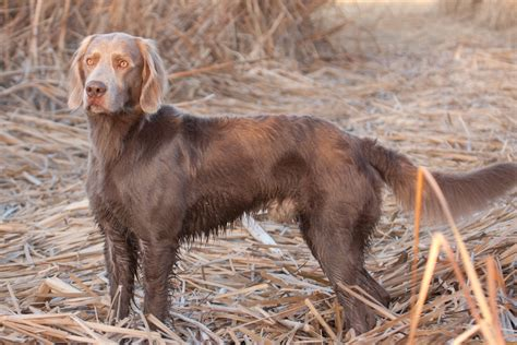 Weimaraner Shedding Hair by Haired Weimaraners For Sale With Interesting Facts