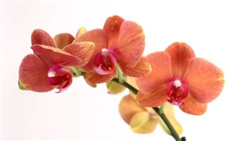 want your orchid to bloom again here s how bud make your and blog