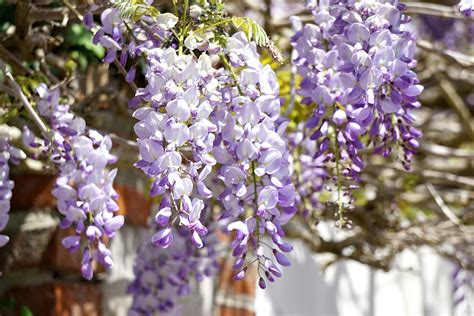 wisteria flower wisteria flowers free stock photo public domain pictures