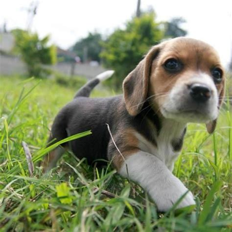 newborn beagle puppies 25 best ideas about beagle puppies on baby dogs pocket beagle