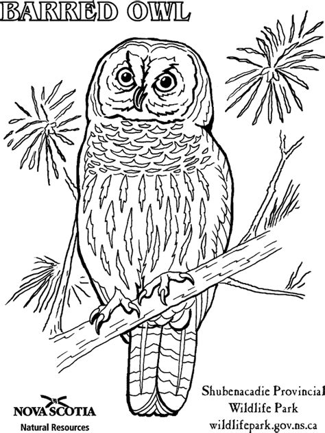 barred owl coloring page moved permanently