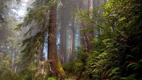 hd wallpaper forest fir tree fog fern
