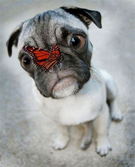 how to clean a pugs nose butterfly pug 1funny