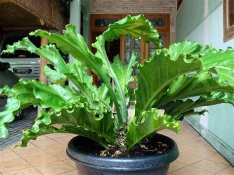 merawat tanaman hias indoor bibitbungacom