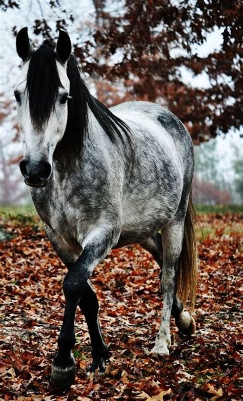 love the gray 1686 best images about equine love on pinterest american