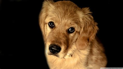what color will my golden retriever be golden retriever wallpaper 1920x1080 wallpoper 444936