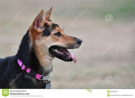 puppy at looking at right royalty free stock image image 23323026