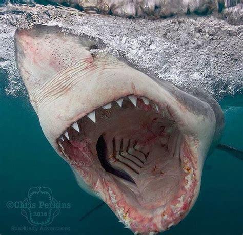 baby shark uk 534 best sharks images on pinterest marine life sharks