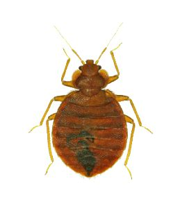 natural predator of bed bugs natural predator of bed bugs 28 images move over